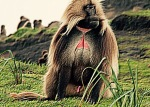 alpha male baboon