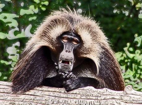 Pensive Baboon